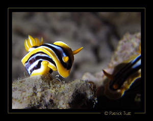two nudibranchs at a night dive  - Saudi Arabia - Canon S... by Patrick Tutt 